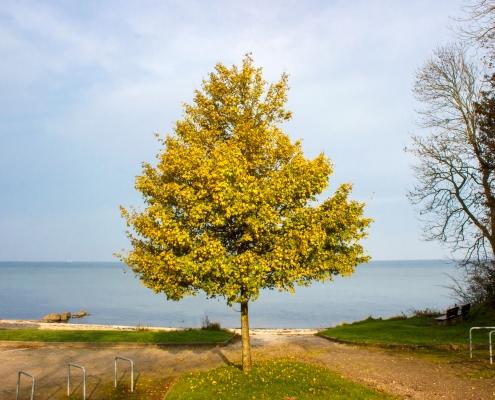 Baum mit Herbstlaub vor dem Strand on Ohrfeldhaff