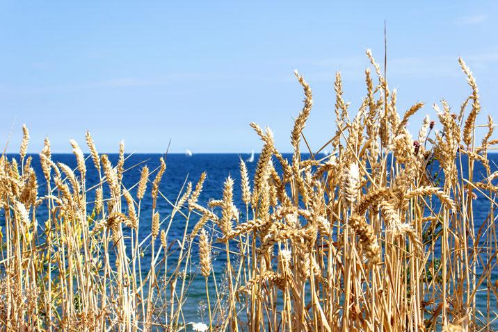 Weizen an der Steilküste in Schönhagen